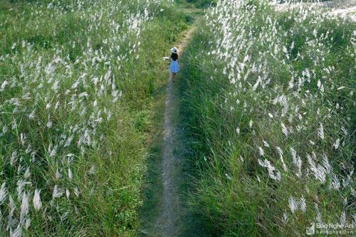 Giữa cánh đồng lau có những lối mòn nhỏ để du khách đi lại, thỏa sức tạo hình. Đi giữa đồng lau mênh mông, không khỏi ngỡ ngàng trước khung cảnh đẹp như trời Tây. Ảnh: Lê Thắng