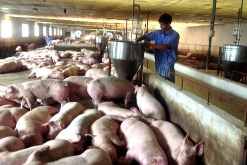 Đẩy mạnh các giải pháp đưa giá lợn hơi về mức bình thường