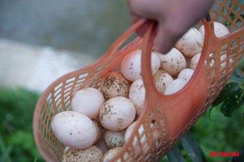 Từ 50 vịt bố mẹ, sau nhiều năm phát triển, hiện Nam sở hữu cho riêng mình một đàn vịt hơn 1.000 con. Mỗi ngày, số vịt tại trang trại đẻ đều đặn, trứng vịt Cổ Lũng to, đều nên dễ bán hơn nhiều so với trứng vịt thông thường.