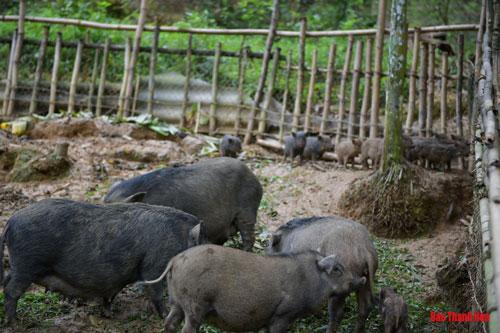 """Ngoài vịt Cổ Lũng, anh còn mạnh dạn nuôi thử nghiệm giống lợn lòi. """"Khi tham quan mô hình ở huyện Lang Chánh, thấy giống lợn lòi dễ nuôi, tận dụng đất đồi sau nhà đang còn trống nên đã thử nghiệm."""