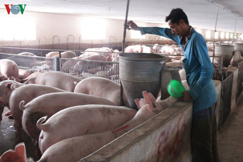 Tiếp tục họp bàn với các doanh nghiệp để điều chỉnh giảm giá lợn