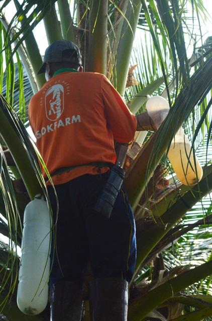 Mật được khai thác trực tiếp từ hoa dừa mỗi ngày hai lần.