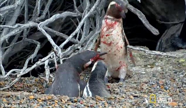 Cuộc chiến vì tình đẫm máu của chim cánh cụt.