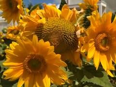 CLIP: Hướng dẫn trồng hoa hướng dương từ vỏ trứng tái chế