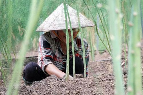 HTX gặt hái thành công nhờ măng tây xanh