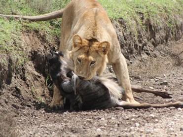 Rình rập tài tình, sư tử đoạt mạng linh dương đầu bò trong 'chớp mắt'
