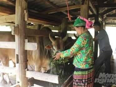 Cao Bằng: Người Mông ở Bảo Lâm làm giàu từ nuôi bò