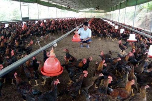 Yên Bái: Liên kết nuôi gà VietGAP, nông dân vươn lên làm giàu