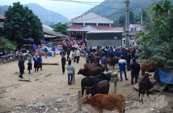 Chợ bò Nà Tốm, xã Vĩnh Quang, huyện Bảo Lâm là nơi mua bán các loại bò thịt, bò sinh sản. Ảnh: Kông Hải.