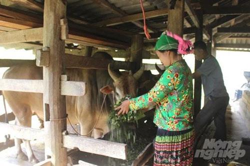 Người dân thị trấn Pác Mjầu, huyện Bảo Lâm phát triển chăn nuôi bò. Ảnh: Kông Hải.