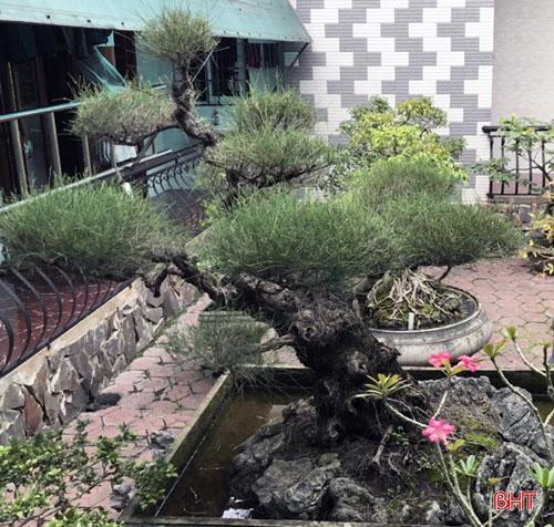 Cây trong vườn nhà ông Tuấn đều có tuổi thọ hàng chục năm và giá khá cao.