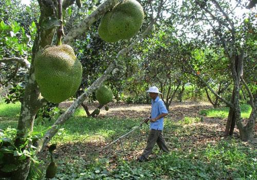 Ông Hạt đang chăm sóc vườn cây ăn trái, vườn mít của gia đình.(Ảnh Tư liệu)