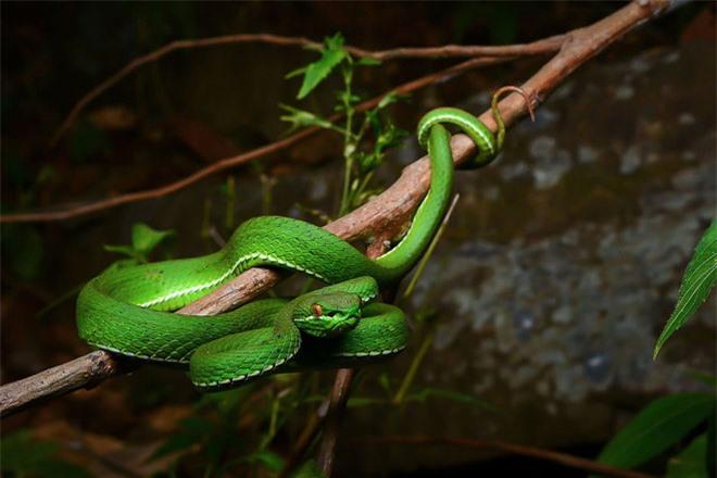 Vẻ đẹp mang sắc chồi non của rắn lục - 4