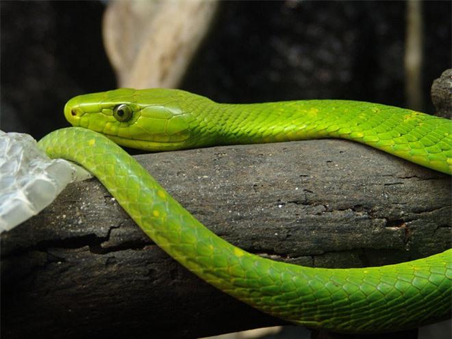 Vẻ đẹp mang sắc chồi non của rắn lục - 6