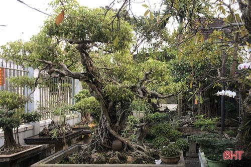 """Trong vườn cây với đủ loại thuộc diện """"kỳ hoa dị thảo"""" của ông Tuấn nổi bật là cây sanh có tuổi đời trên 50 năm, dáng cổ kiểu đa làng (cây có nhiều tán, lá kiểu tản mây), từng được trả giá gần nửa tỉ đồng."""