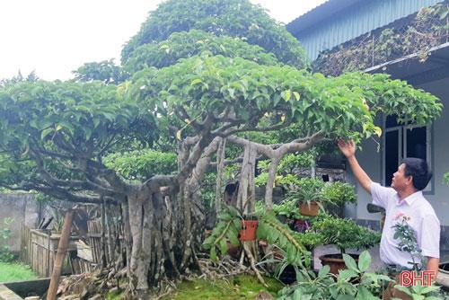 Cây sanh thế đa làng của gia đình ông Hồng từng được một vị khách ở Nghĩa Đàn (Nghệ An) muốn đổi ngang chiếc ô tô.