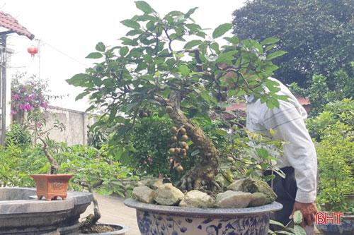 Cây sung thế trong khu tiểu cảnh của gia đình ông Phan Văn Vũ trĩu quả
