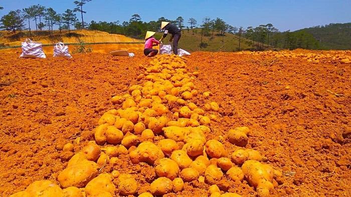Do ảnh hưởng của dịch Covid-19 nên nhiều loại nông sản ở khắp nơi rớt giá, tắt đầu ra