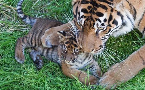 Hổ Sumatran mẹ âu yếm con nhỏ trong vườn thú San Francisco ở California, Mỹ.