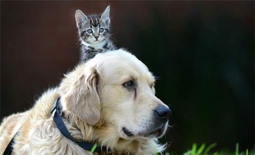Ảnh đẹp: Mèo con trèo lên đầu chó - 8