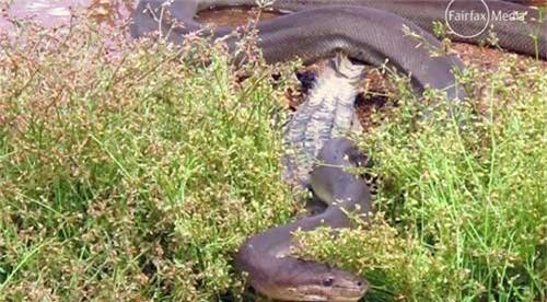 Hãi hùng trăn nuốt chửng cá sấu - 4