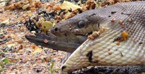 Hãi hùng trăn nuốt chửng cá sấu - 9