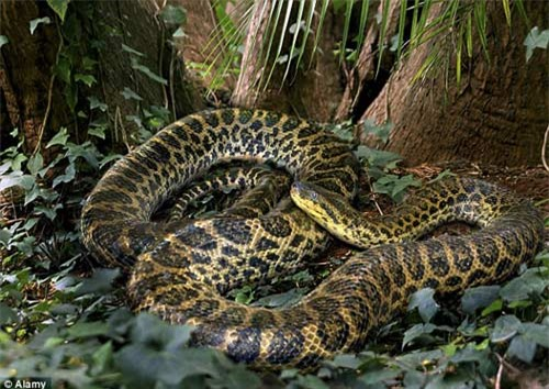 Rùng mình đối mặt trăn khổng lồ dưới sông Amazon - 5