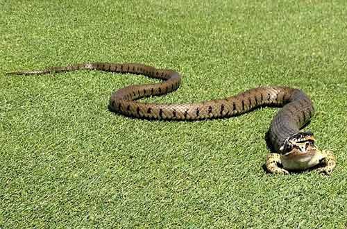 Con rắn gần như đã nuốt chửng con ếch gần lỗ 17 trên sân golf Thornbury.