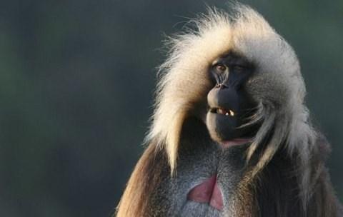 Loài khỉ Gelada