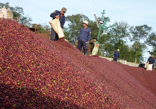 """Cả nông dân và doanh nghiệp sản xuất kinh doanh cà phê đang đứng trước thảm cảnh """"đổ vỡ"""" nếu không có những chính sách hỗ trợ kịp thời từ Nhà nước để vượt qua giai đoạn khó khăn (Ảnh minh họa: Internet)"""