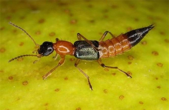 1001 thắc mắc: Loài kiến nào có nọc độc gấp 12 lần nọc rắn hổ mang? - ảnh 2