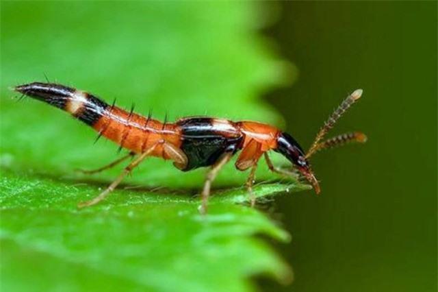 1001 thắc mắc: Loài kiến nào có nọc độc gấp 12 lần nọc rắn hổ mang? - ảnh 3
