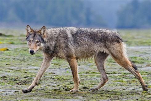 Hé lộ về loài sói hiếm biết bơi, ăn hải sản - ảnh 1