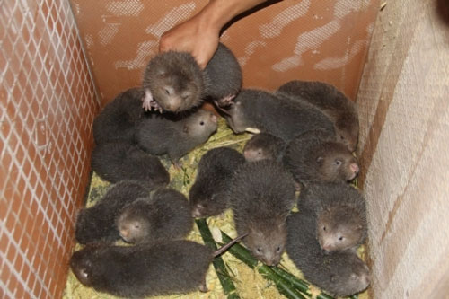 Dúi là động vật dễ nuôi, ít dịch bệnh và mang lại hiệu quả kinh tế cao. Ảnh: L.K.