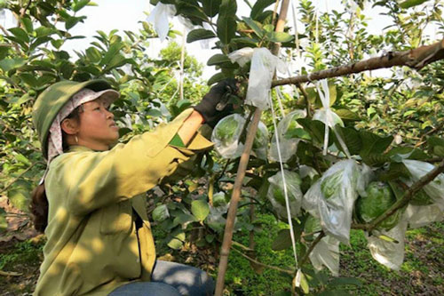 Hải Dương: HTX giúp nông dân giàu lên nhờ bán ổi VietGAP