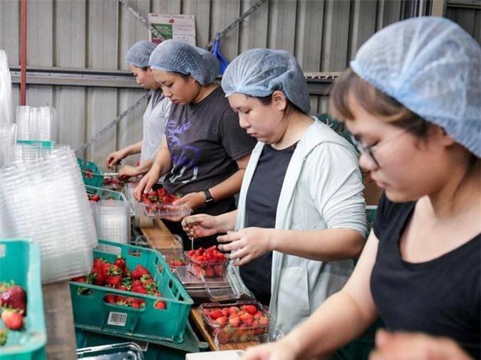 Cơ hội cho thị trường lao động tại Australia nhờ Hiệp định CPTPP - Ảnh 1.