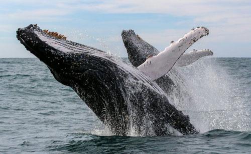 Cá voi cần phóng đến các vùng biển ấm để… tắm rửa, dưỡng da.