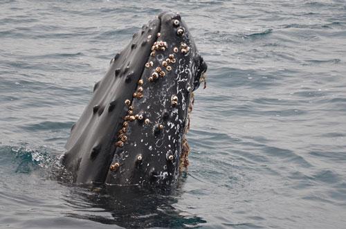 """Bộ da siêu lớn của cá voi giống như """"tàu Noah"""" với các loài ký sinh ở biển."""