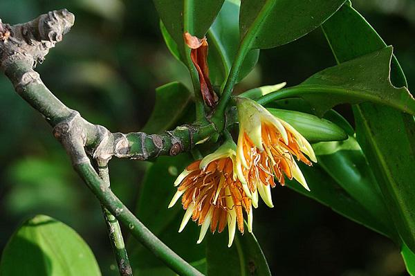 """Kỳ lạ loài cây duy nhất ở Việt Nam có khả năng đặc biệt: Sinh và nuôi """"con"""""""
