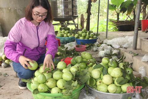 Hơn tháng nay, trang trại của bà đang cho thu hoạch giống ổi Đài Loan. Nhiều thương lái đã tìm đến tận nơi thu gom ổi về bán ra thị trường. Được biết, trang trại của bà có 500 gốc ổi, mỗi ngày bán ra gần 1 tạ quả. Với giá từ 25.000 - 30.000 đồng/kg, tính ra đến nay nguồn thu từ ổi xấp xỉ 80 triệu đồng.