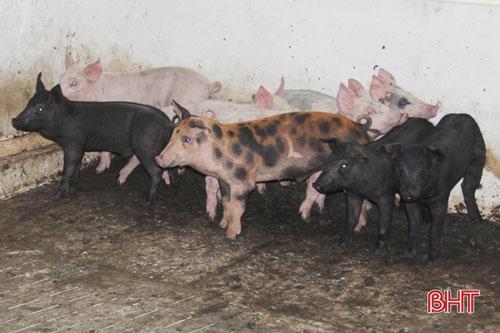 """Hiện tại, trong chuồng đang có gần 30 con lợn giống vừa mới """"tái đàn"""" sau khi hết dịch tả lợn châu Phi. Với quy mô 300 con, bà chuẩn bị mua thêm con giống để từng bước """"phủ kín"""" chuồng trại, chăn nuôi theo quy trình an toàn sinh học..."""