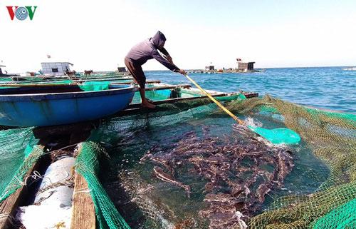 Quảng Ngãi: Lãi hàng trăm triệu đồng từ nuôi cá bớp lồng bè trên đảo Lý Sơn
