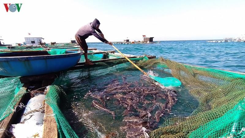 Người nuôi thu hoạch cá bớp thương phẩm.