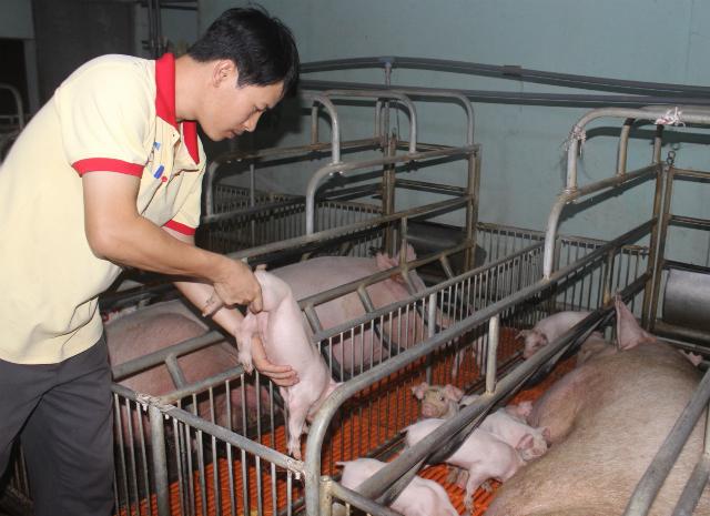 HTX Xuân Phú ứng dụng công nghệ hiện đại vào sản xuất lợn giống (Ảnh T.V)