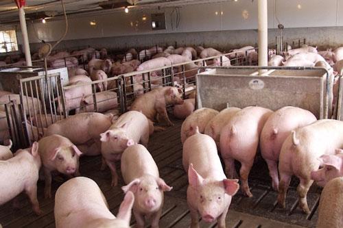 Khó mua lợn hơi giá 70.000 đồng/kg của các doanh nghiệp chăn nuôi lớn (Ảnh: Tư liệu)