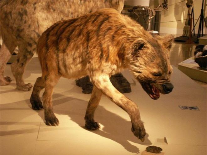 5 loài động vật thời tiền sử chuyên săn lùng tổ tiên của chúng ta - Ảnh 2.