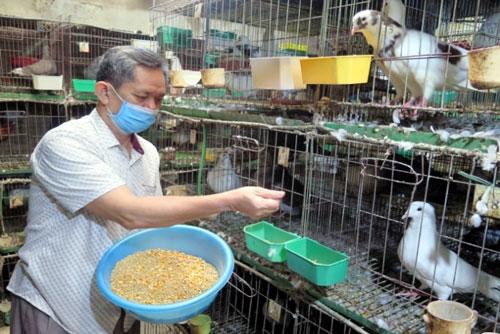 Ông giáo già cần mẫn nuôi chim bồ câu thành công