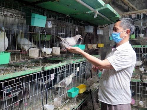 Ông Nguyễn Đình Phúc, người gây dựng và lan tỏa mô hình chăn nuôi chim bồ câu Pháp rất hiệu quả tại thị xã Phổ Yên.