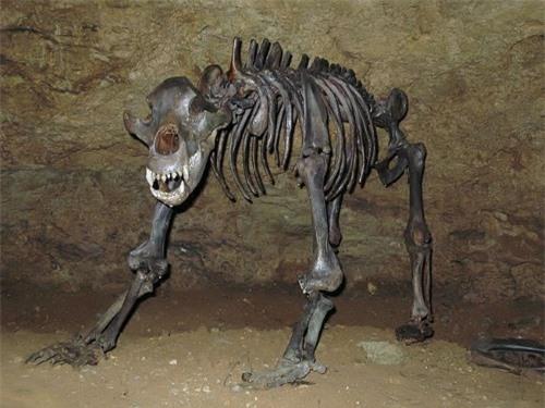 Mang thân hình to lớn nhưng loài gấu khổng lồ này lại ăn chay - 2