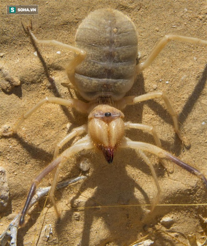 Giải mã nhện lạc đà: Quỷ dữ giết người siêu tốc độ trên sa mạc? - Ảnh 1.